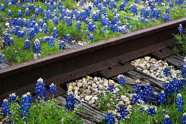 bluebonnet-texas.jpg